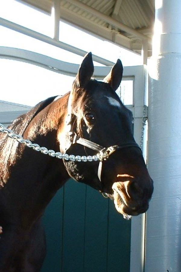 Standardbreds Forever Day, held at Northlands Park - during the Easter weekend of 2010, provided the backdrop for As Promised's final tour around a racetrack in Alberta. Here's a photo of As Promised looking eager, in the outdoor paddock, prior to going on track.